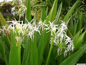love those wide open spaces spider lilies neath my window
