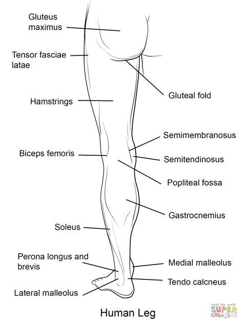 Human Leg Back View coloring page | Free Printable