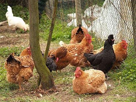 galline in giardino appunti di avicoltura la farmacia in giardino e dispensa