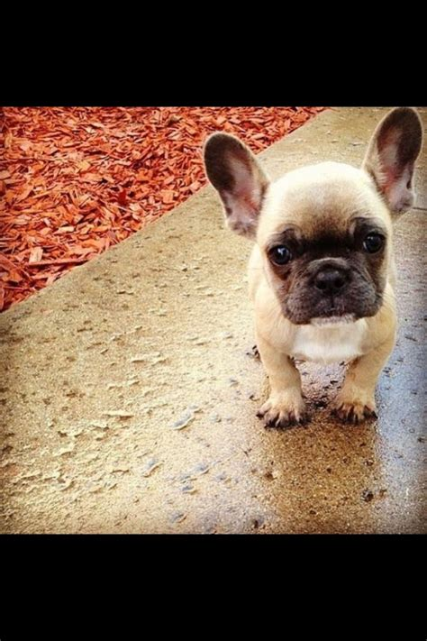 frenchie puppy hello my frenchie puppy stuff