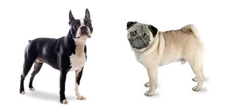 bulldog vs pug 78 images about boston terrier breed on boston terrier names
