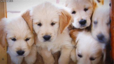 puppy gif golden retriever puppy gifs wifflegif