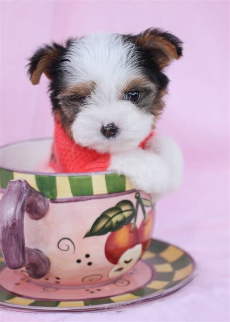 biewer yorkies for sale biewer yorkie terriers for sale teacups puppies boutique