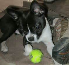 boston terrier and pomeranian mix puppies pomston boston terrier and pomeranian mix must animals