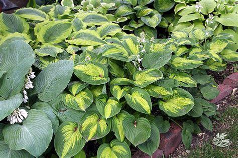 hosta plants young gardener