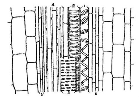 longitudinal section of xylem tissue a handbook of some south indian grasses rai bahadur k