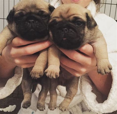 chunky pug chunky pug puppies left ready now bromsgrove worcestershire pets4homes