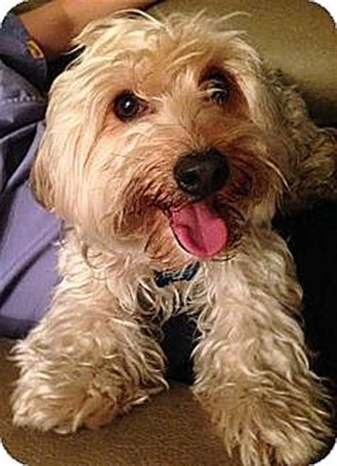 yorkie coton 3 adopted 014 015 orange ca yorkie terrier coton de