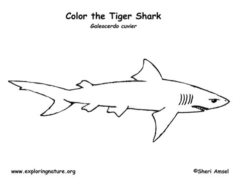 shark anatomy coloring page shark tiger coloring page