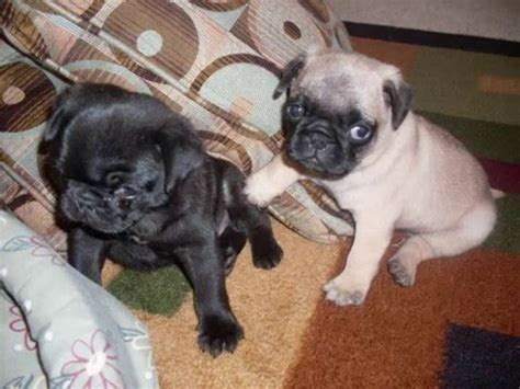find pug puppies for sale pug puppies for sale