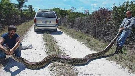 python hunters catch 15 foot burmese python in south