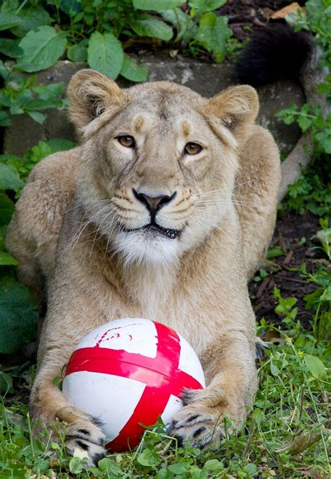 Three Lions pictured real three lions show their football skills
