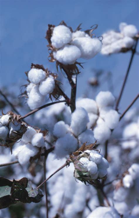 fiore cotone cos 232 il cotone biologico