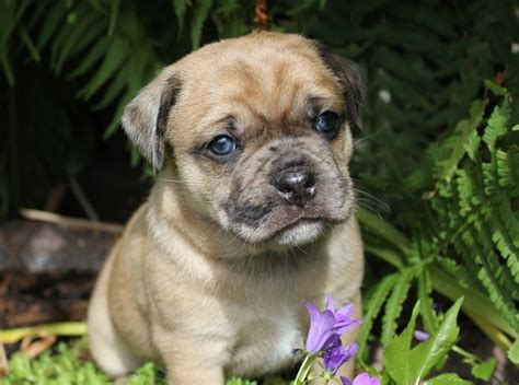 pug and bulldog pug and bulldog miniature bulldog pug mixed breeds miniature