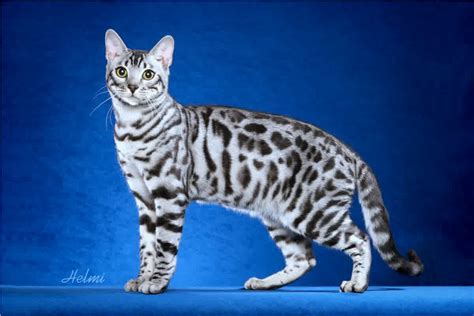 white bengal cat kittens bengal cat one of the world s most expensive cat