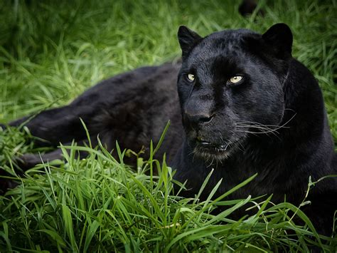 all black jaguar pin black panther animals cats on pinterest