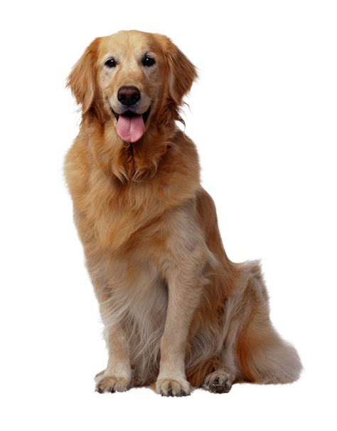 golden retriever original breed dogs on the net