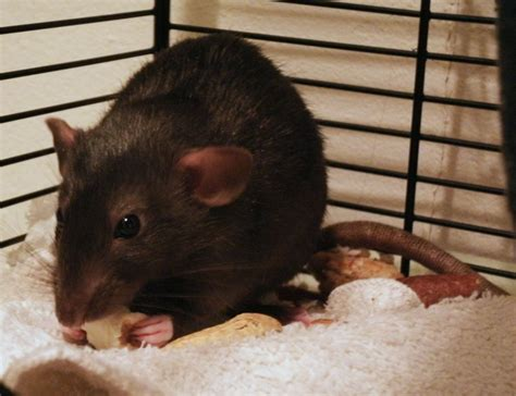 Feeder Rats As Pets 157 best images about pet rats on hamsters zoom lens and pets