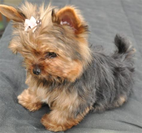 boy teacup yorkie names 1000 images about yorkie puppy names for and boys on yorkie