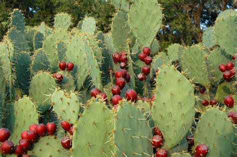 image prickly pear cactus fruit download prickly pear cactus fruit 171 four string farm