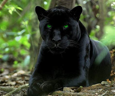 imagenes negras photo collection fotos pantera negra