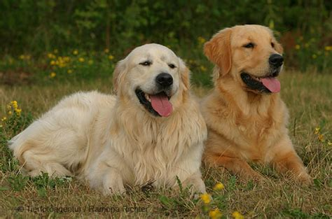 4 golden retriever 1000 images about colors yellow gold and apricot