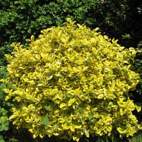 Petit Arbuste Fleuri by Les 25 Meilleures Id 233 Es De La Cat 233 Gorie Arbustes 224