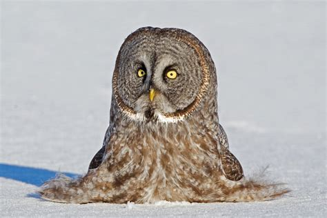 the owl who was 11 fun facts about owls audubon