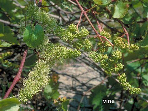 Vine Fiore Di Bach by Vine I Fiori Di Bach Attivazioni Biologiche