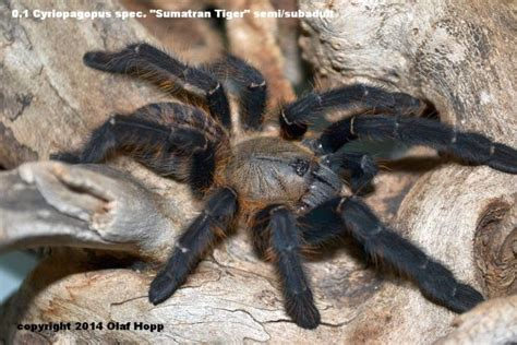 Cyriopagopus Sp Hati Hati Tarantula Size 3cm reptile forums view single post europe tarantula