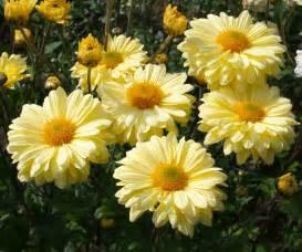 Chrysanthemum by Scottish Artist And His Garden Chrysanthemums