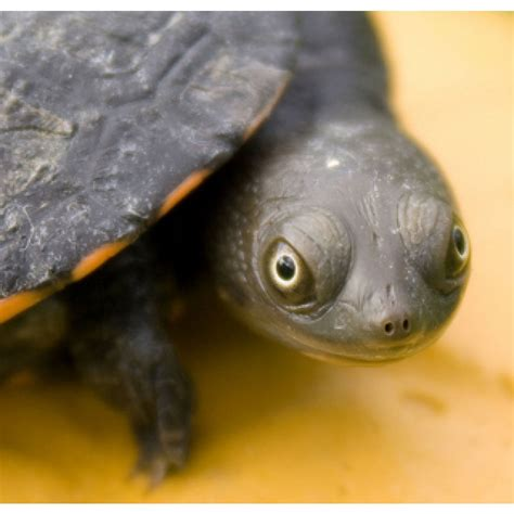 Neck Turle baby turtles for sale longneck turtles for sale amazing