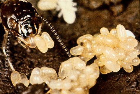 termite eggs   termite eggs
