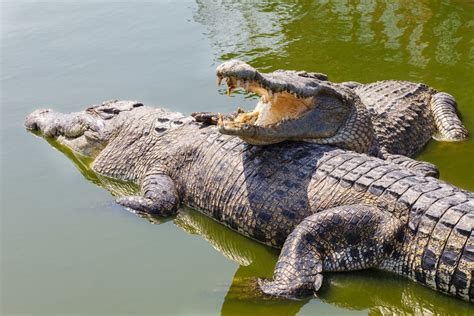 alligators and crocodiles national crocodiles facts pictures