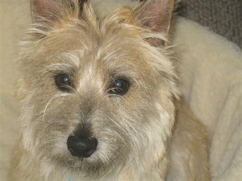 cairn terrier golden retriever mix breed information cairn terrier thriftyfun