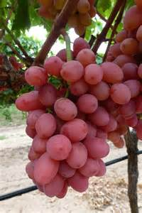 seedless grapes varieties images