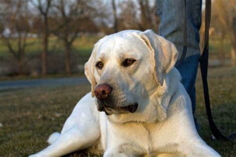 Do Yellow Labs Shed by Which Is The Better Breed Labrador Or Golden Retriever Quora