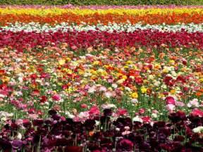 Flowers Of Netherlands - wallpapers netherlands flower fields