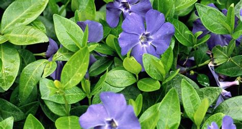 fiore pervinca significato pervinca significato dei fiori significato