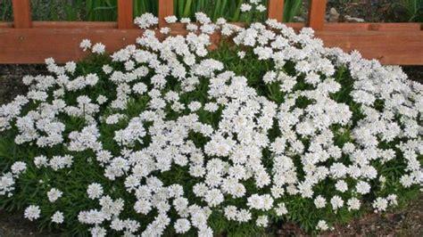 fiori per bordure basse come coltivare l iberis deabyday tv