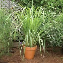 west indian lemon grass cymbopogon citratus