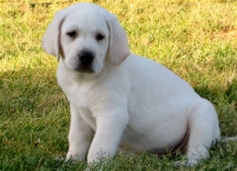 white labrador puppies for sale about damascus way labradors