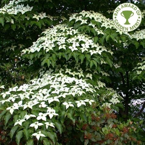 Cornus Kousa Chinensis Teutonia 6649 by Cornus Kousa Var Chinensis White Flowering