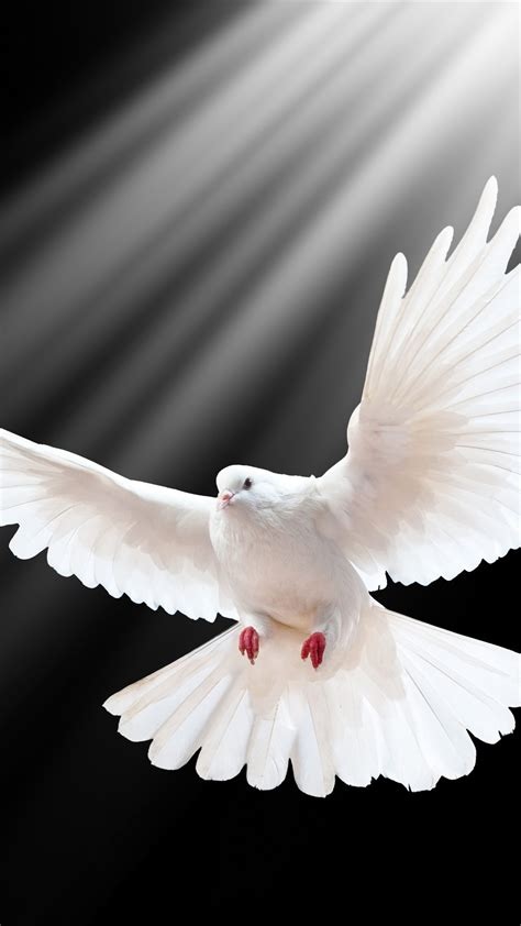 wallpaper white dove flight wings black background