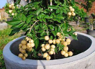 Benih Rambutan Cepat Berbuah cara menanam buah kelengkeng dari biji cara menanam