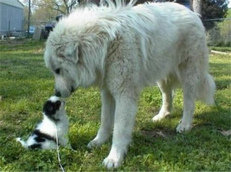 big breed breeds big white breeds all white breeds breeds breeds picture