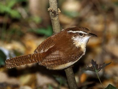 carolina wrens carolina wren pictures carolina wren