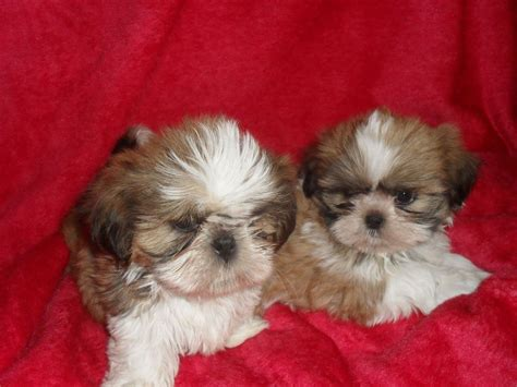 shih tzu puppies for sale in ms shih tzu puppies for sale rhyl denbighshire pets4homes