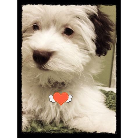 baby havanese 522 best images about havanese on adoption puppys and photo galleries