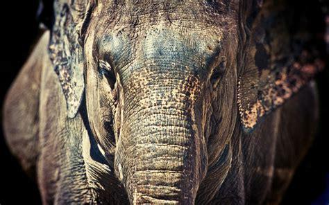 desktop elephant hd wallpapers pixelstalknet